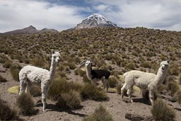 Alpacas and Volcan Sajama, Bolivia.