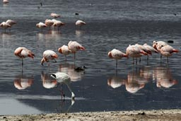 Flamingos, laguna, Altiplano, Bolivia, west.
