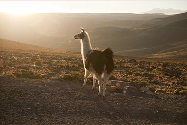 Llama and sun sets, high on 4,500m, Alto Plano, or Altiplano, Southern Peru on way to Puno.