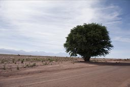 Atacama desert, better take that picture, might be last tree for a long time.