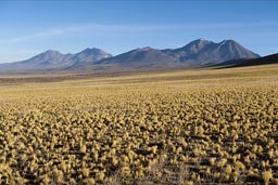 Yellow scrub, in volcano country, northern Chile.