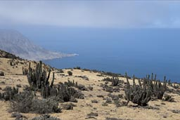 The coastal desert mountain range sees a special flora, due to fog and increased humidity. Chile.