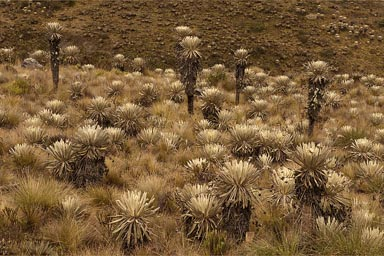 Yucca plants in Colombian Andes.