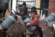 Cow milk arrives on llamas and donkeys from surrounding pastures, every morning for famous Salinas de Guaranda cheese producers, Ecuador.