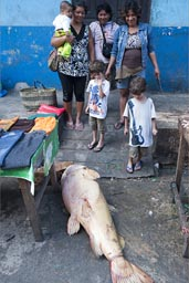 A huge pink fish, still alive on pavement, Belen fishmarket, Iquitos, Peru.