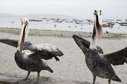 Pelicans that seem to talk, wings spread, Paracas beach, Peru.