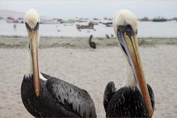 Pelicans on beach Paracas, Peru.