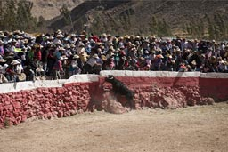 Bull tries to get up on tribunes, Huambo, bull fighting arena, Peru.